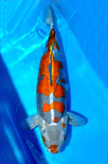 Atarashii doitsu ochiba yoshikigoifood for Ochiba koi fish